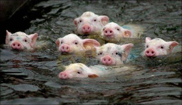 油画猪图片可爱